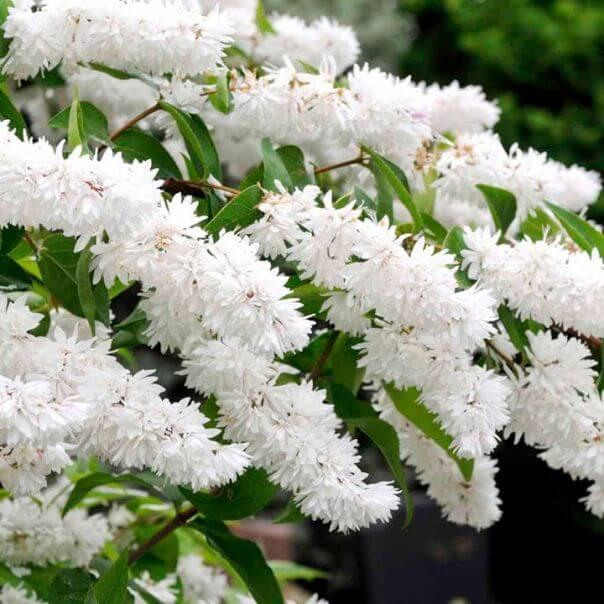 цветы дейции шершафой на фото