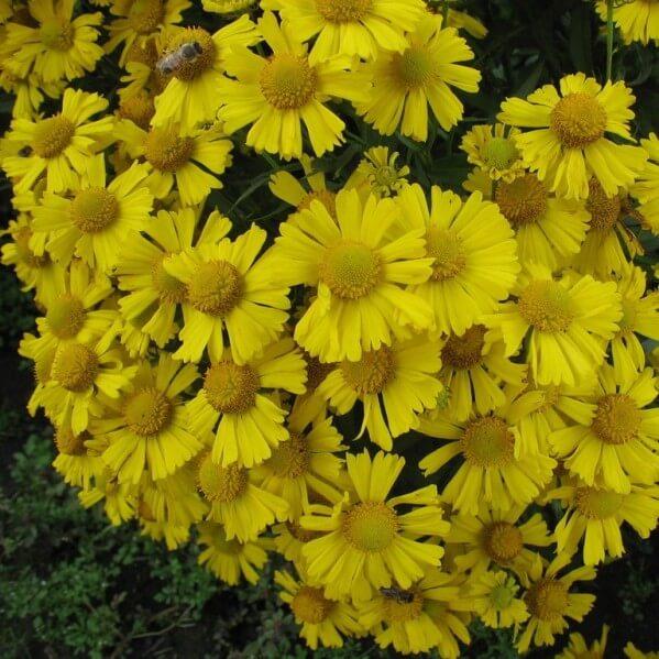 цветы гелениум на фото
