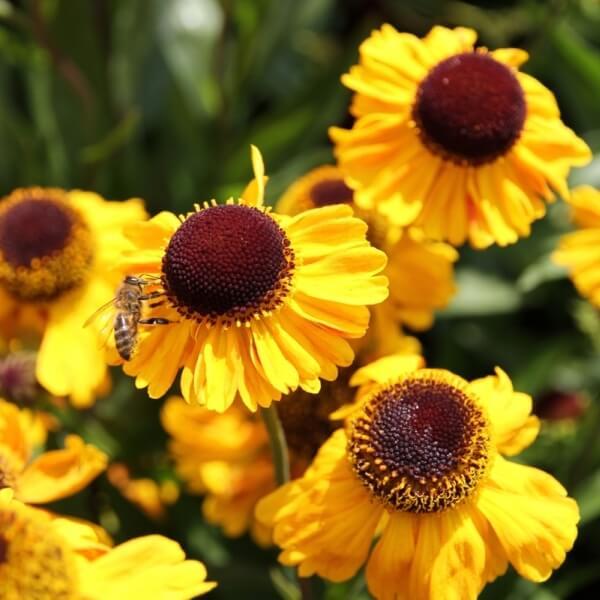фото цветка гелениума