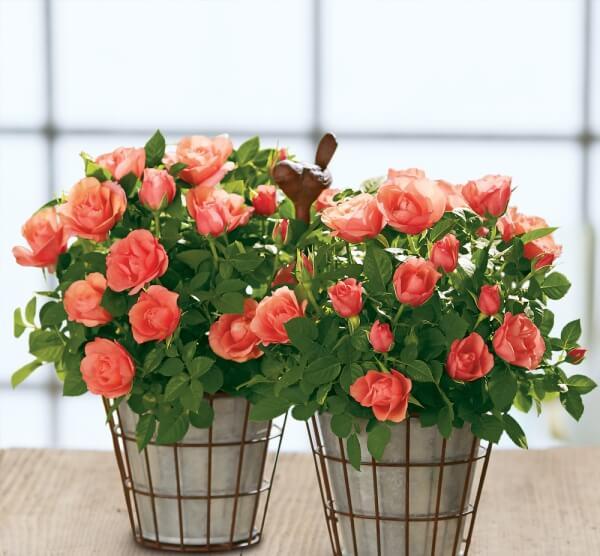 Розы миниатюрные купить в москве горшки под цветы купить одесса 7 километр