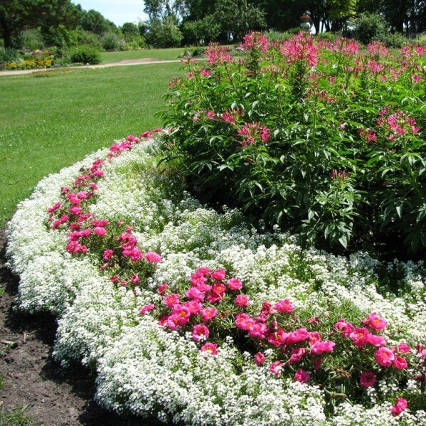 алиссум цветок фото