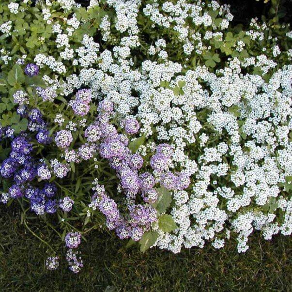 Цветы ранункулюс посадка и уход лютик садовый выращивание