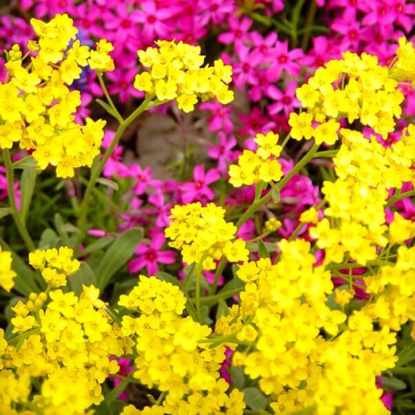 цветы алиссум на фото