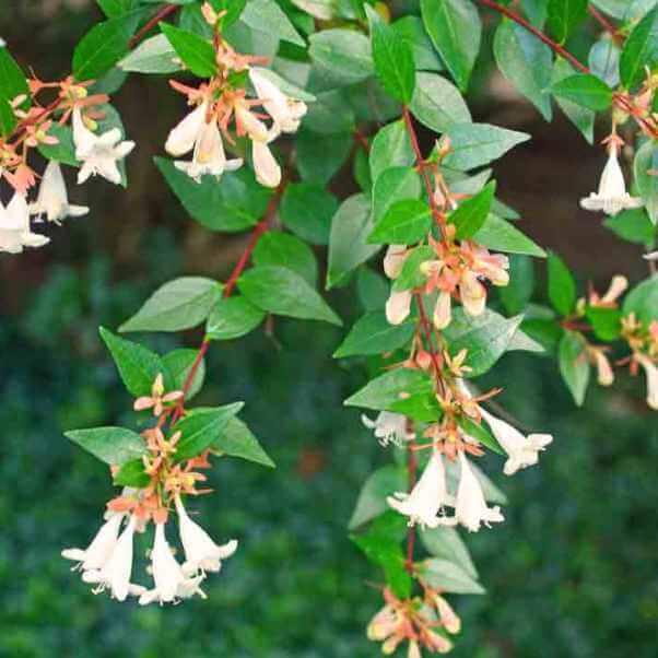 цветущий чубушник на фото