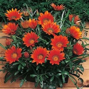цветы гацании на фото