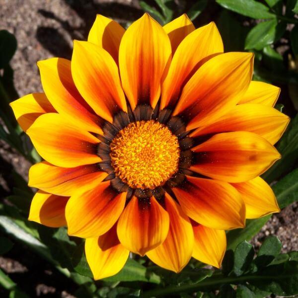 цветок гацании на фото