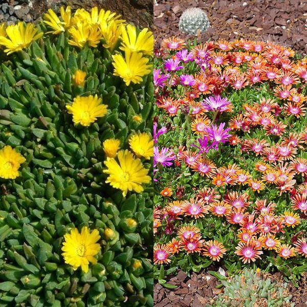 цветы делосперма на фото