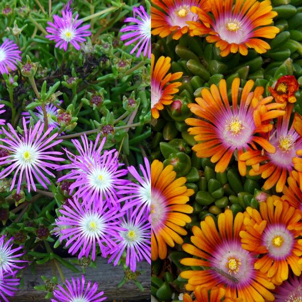 фото цветов делосперма
