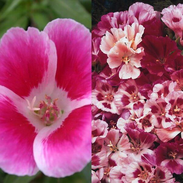 цветы годеция на фото