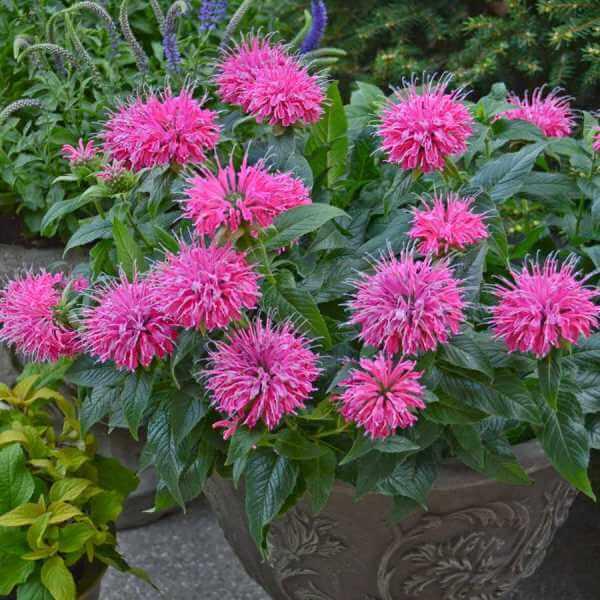 цветы монарда на фото