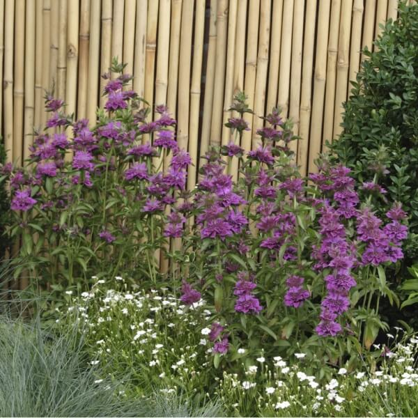 Цветок садовый монарда