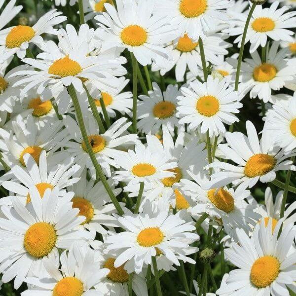 цветы нивяник на фото