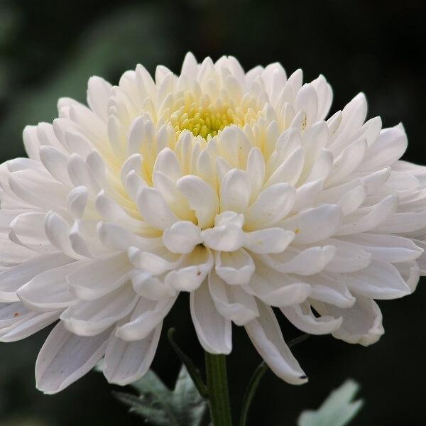 хризантемы крупные фото