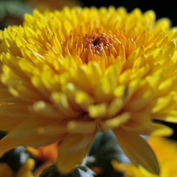 сорта хризантем с фото