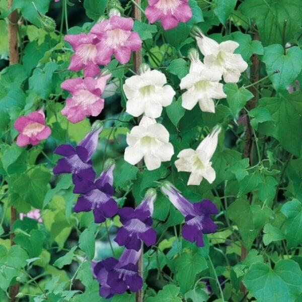 цветы азарина на фото