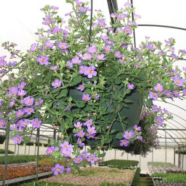 цветок бакопа на фото