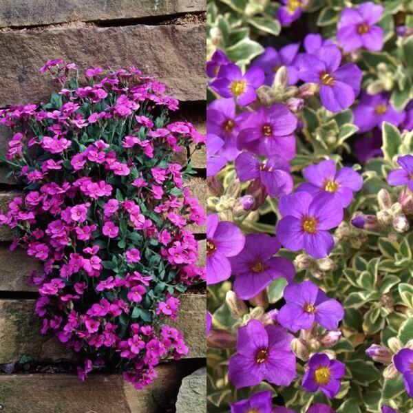 цветы обриета на фото
