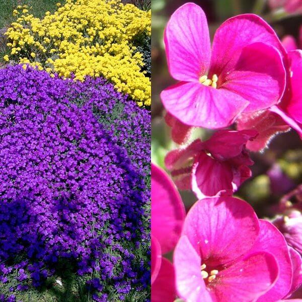 цветок обриета на фото