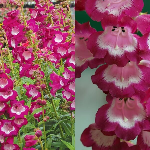 penstemon_06