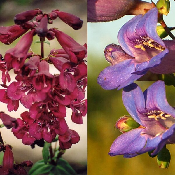 penstemon_08