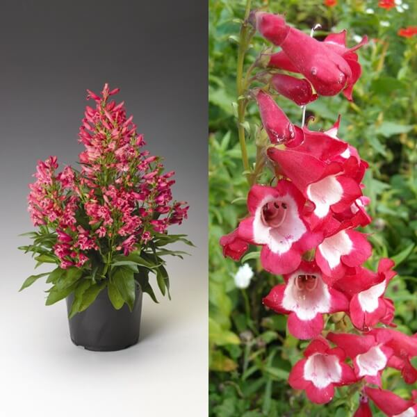 penstemon_14
