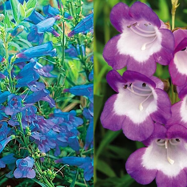 penstemon_15