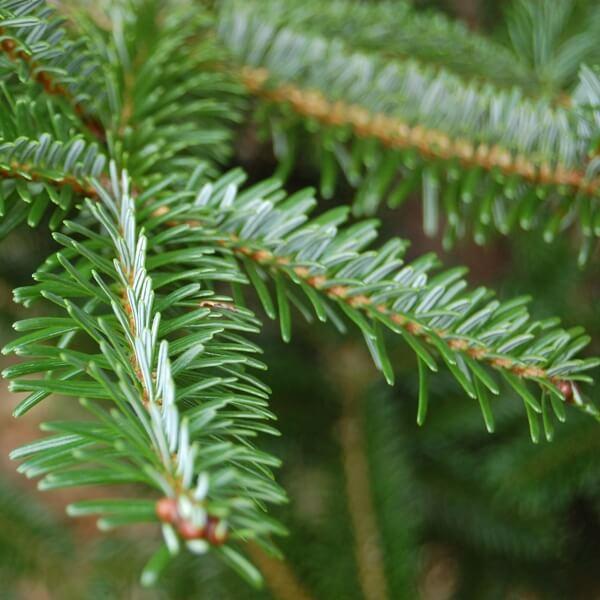 фото дерева пихта