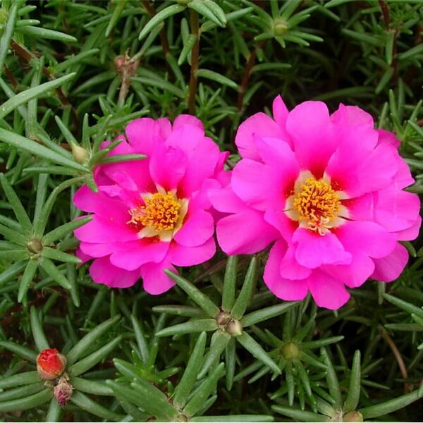 Цветы портулак махровый, крупноцветковый и ампельный: фото, посадка для выращивания из семян, уход