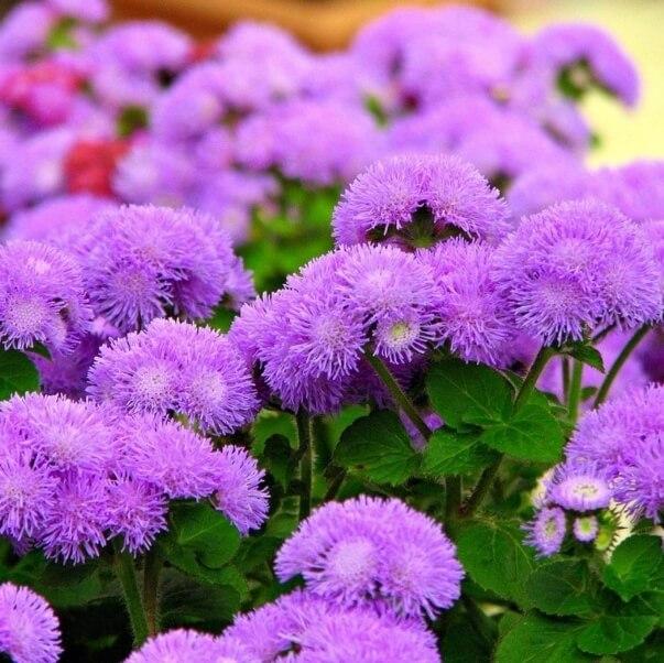 цветы агератум на фото