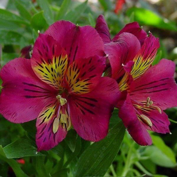 цветы альстромерия на фото