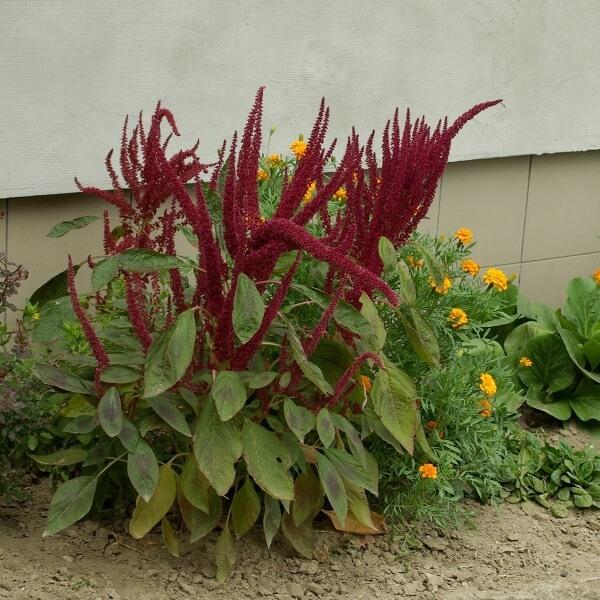 растение амарант на фото