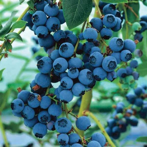 голубика садовая на фото