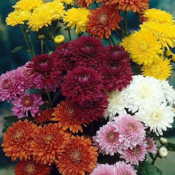 кустовые хризантемы на фото