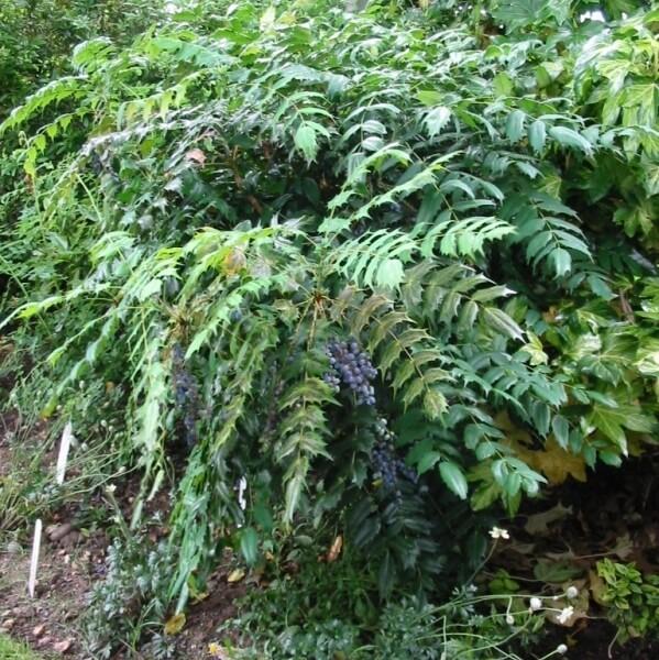 магония растение