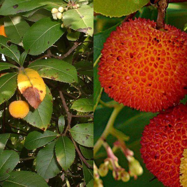 arbutus (10)