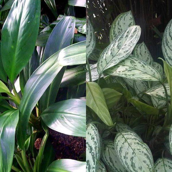 Aglaonema nitidum / Kolbenfaden, Burma, Borneo, Sumatra