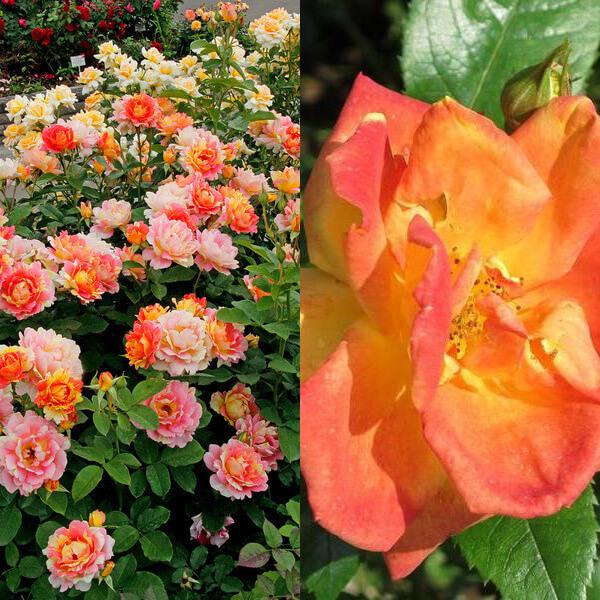 формы и сорта полиантовых роз с фото автоматическом флюэнсе, пришли