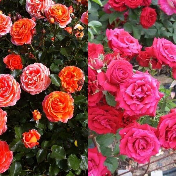 Роза циркус флорибунда фото и описание