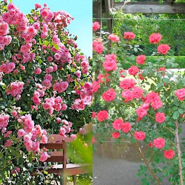 plet_rose (20)