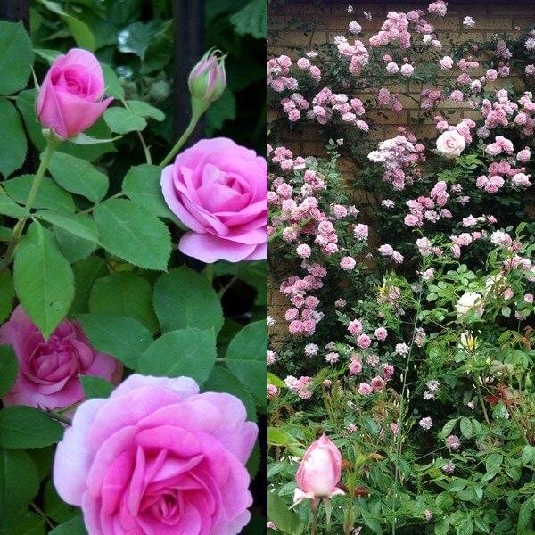 plet_rose (7)