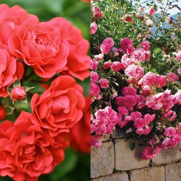 Rosa 'Lancashire'