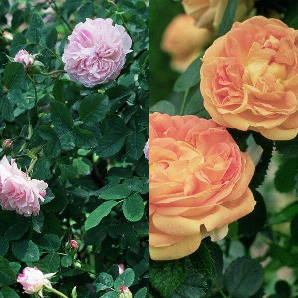 Quatre Saisons, gr. Damascenas, sect. Rosa