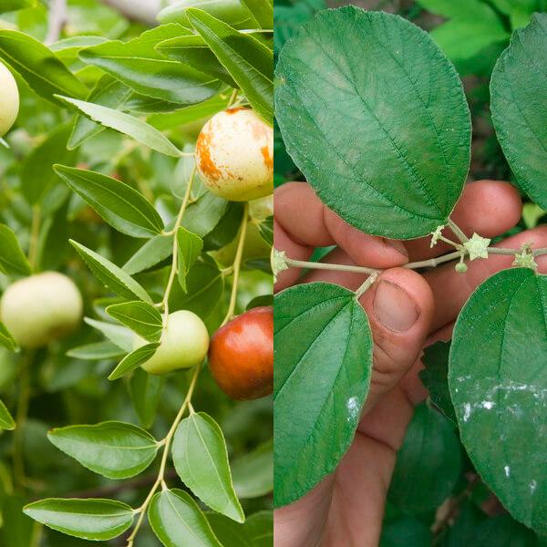 Chinese jujube orchard