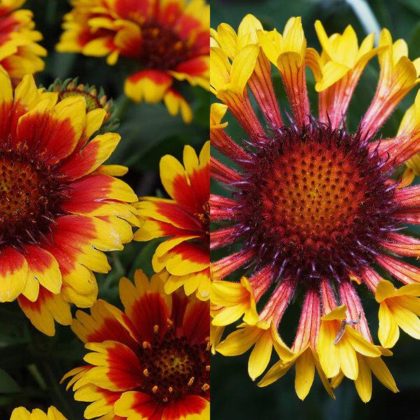 Цветок гайлардия фото посадка и уход